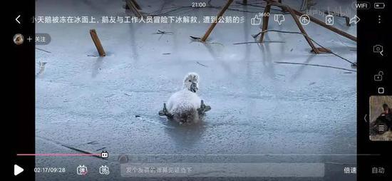黑天鹅之死:它们扛过了严冬,却抗不过病毒